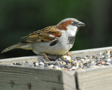 1590b_house_sparrow