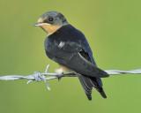 1470_lark_swallows