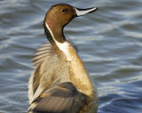 1090y_northern_pintail