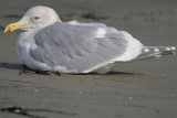 1210j_glaucous_winged_gull