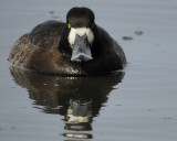 1091j_greater_scaup
