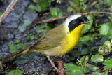 IMG_8046 Common Yellowthroat male.jpg