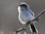 IMG_8239 Black-tailed Gnatcatcher.jpg