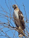 IMG_8108 Red-tailed Hawk eastern.jpg