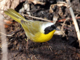 IMG_8043 Common Yellowthroat western.jpg