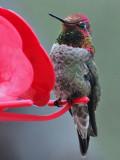 IMG_7713a Anna's Hummingbird.jpg