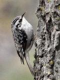 IMG_8484 Brown Creeper.jpg