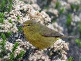 IMG_8502 Orange-crowned Warbler.jpg