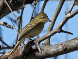 IMG_8708 Pacific Slope Flycatcher.jpg