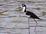 IMG_9012 Black-necked Stilt.jpg