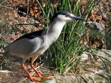 IMG_1651 Black-crowned Night Heron.jpg