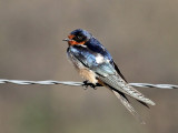 IMG_2217 Barn Swallow.jpg