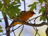 IMG_9158 Hybrid Flame-colored Tanager.jpg