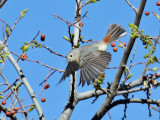 IMG_3958 Lucy's Warbler.jpg
