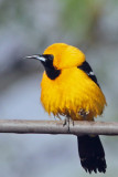 IMG_4336a Hooded Oriole.jpg