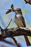 IMG_5647 Dusky-capped Flycatcher.jpg