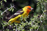 IMG_8218 Western Tanager male.jpg