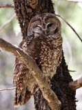 IMG_9869a Mexican Spotted Owl.jpg