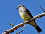 IMG_0559 Tropical Kingbird.jpg