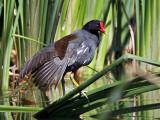 IMG_0787 Common Gallinule.jpg