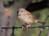 IMG_1289 Botteri's Sparrow.jpg