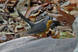 IMG_2468a Fan-tailed Warbler.jpg