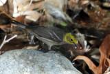IMG_1820b Hermit  Warbler hybrid female.jpg