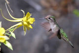 IMG_2684 Magnificent Hummingbird female.jpg