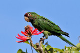 IMG_4250a Red-crowned Parrot.jpg