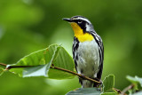 IMG_5197 Yellow-throated Warbler.jpg