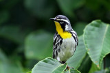 IMG_5207a Yellow-throated Warbler.jpg
