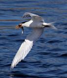 IMG_3793b Elegant Tern.jpg