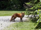 IMG_7665b Red Fox.jpg