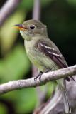 IMG_5801a  Yellow-bellied Flycatcher.jpg