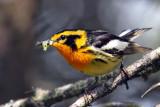 IMG_5421a Blackburnian Warbler male.jpg