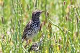 IMG_4018a Savannah Sparrow -  Belding's.jpg
