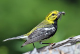 IMG_6812a Black-throated Green Warbler male.jpg