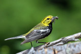 IMG_6811a Black-throated Green Warbler male.jpg