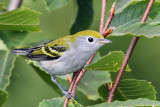 IMG_8495a Chestnut-sided Warbler female.jpg