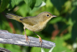 IMG_8674a Common Yellowthroat - juvenile female.jpg
