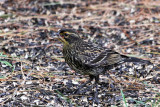 IMG_7911a Red-winged Blackbird female.jpg
