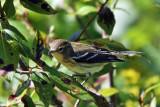IMG_8568 Blackburnian Warbler imm female.jpg