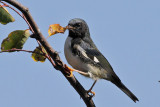 IMG_9736 Black-throated Blue Warbler imm male.jpg