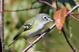 IMG_0720 Blue-headed Vireo.jpg
