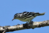 IMG_7830 Black and White Warbler female.jpg