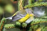 IMG_0657 Magnolia Warbler.jpg