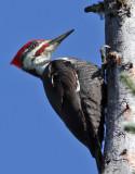 IMG_1230 Pileated Woodpecker male.jpg