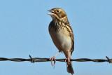 IMG_3033a Baird's Sparrow.jpg