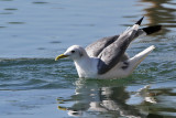 IMG_3865a Black-legged Kittiwake.jpg