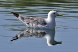 IMG_3802a Black-legged Kittiwake.jpg